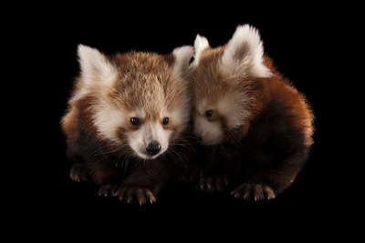 Three-month Old Red Pandas, Ailurus Fulgens Fulgens