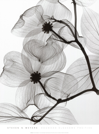 Dogwood Blossoms Positive Art Print