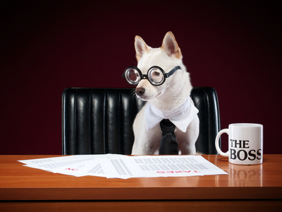 Small white terrier with glasses, collar and dark tie sits in a black leather executive chair at a wooden desk looking at papers, to his left is a coffee cup that says The Boss