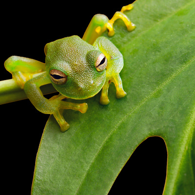 Tree Frog In Brazil Tropical Amazon Rain Forest Beautiful Night Animal And Endangered Amphibian