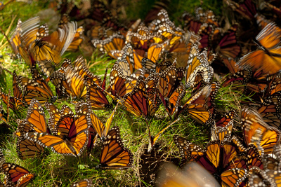 Monarch Butterflies, Danaus Plexippus, Drinking from Wet Grasses Along a Mountain Stream