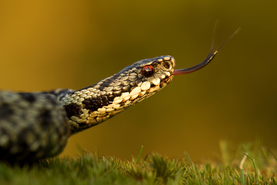Adder (Vipera Berus) Tasting the ...
