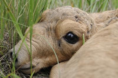 Newborn Saiga Antelope (Saiga Tatarica) Lying in Grass, Cherniye Zemli Nr, Kalmykia, Russia