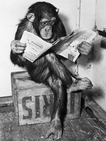 Chimpanzee Reading Newspaper Art Print