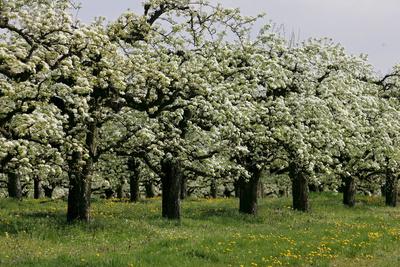 Blühende Birnbäume (Ungarn)