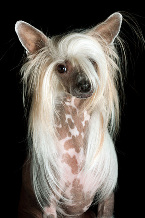 Close Up Portrait of a Pet Chinese Crested Dog