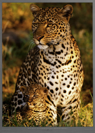 Buy Leopard with Infant at Masai-Mara, Kenya at AllPosters.com