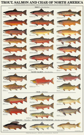 Trout, Salmon & Char of North America I