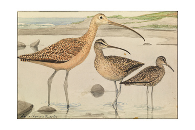 A Painting of Three Species of Curlew