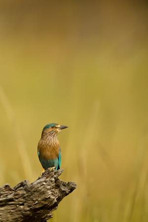 Roller (Coracias Benghalensis)