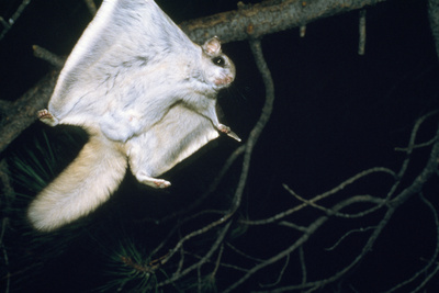 Northern Flying Squirrel Flying