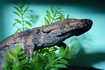 Chinese Giant Salamander Swimming