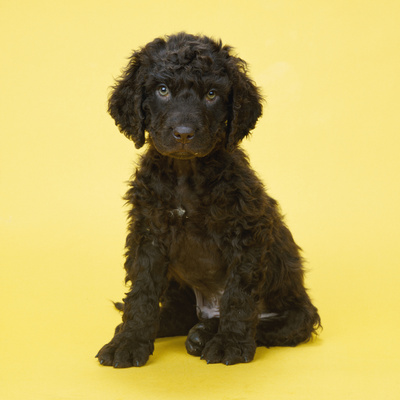 Irish Water Spaniel Dog Puppy