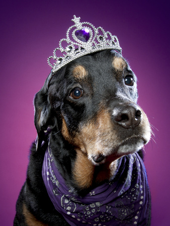 Rottweiler with tiara on head and purple neckerchief against a purple background