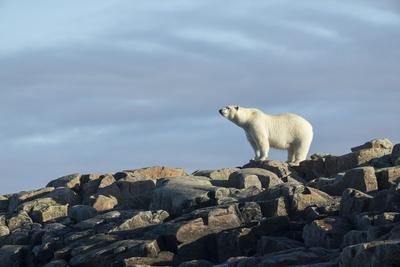 Polar Bear on Harbour Islands ...