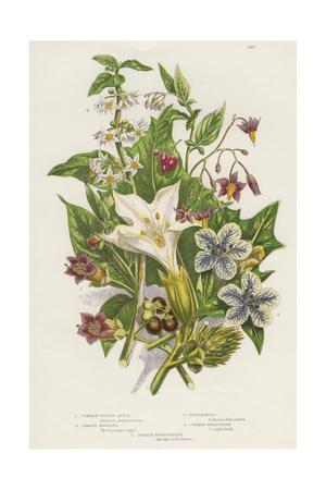 Poisonous Plants, C1885