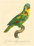 Barraband Parrot No. 89