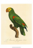 Barraband Parrot No. 86