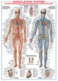 Buy Circulatory System at AllPosters.com