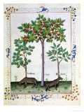 Hazelnut Bush (Left) and Cherry Tree (Centre), Illustration from the 