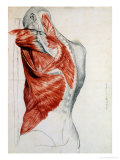 Buy Human Anatomy, Muscles of the Torso and Shoulder at AllPosters.com