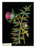 Cotton-Headed Thistle: Carduus Eriophorus, circa 1772-82 (Paper Collage)
