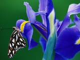 Fritillary Butterfly on a Dutch Iris