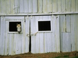 Horse Peering Through Barn Door