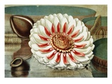 Victoria Regia or the Great Water Lily of America (Complete Bloom)