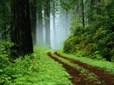 Unpaved Road in Redwoods Forest Photographic Print