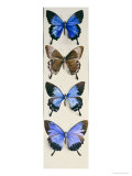 Four Butterflies Representing Both Sexes of Papilo Ulysses