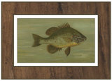 Buy Common Sunfish at AllPosters.com