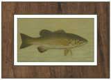 Buy Small-Mouthed Black Bass at AllPosters.com