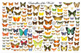 Butterflies of the World Chart Art Print