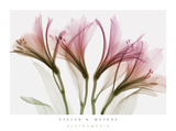 Buy Alstromeria at AllPosters.com