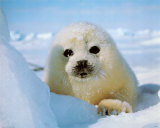 Seal Pup