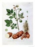 Potato, Botanical Plate from
