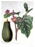 Aubergine, Botanical Plate from