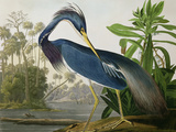 Louisiana Heron from 'Birds of America'
