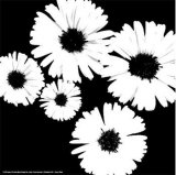 Black and White Asters II