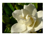 Gardenia with morning dew