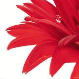 Gerbera Rouge