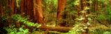 Buy Muir Woods, Trees, National Park, Redwoods, California at AllPosters.com