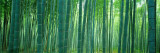 Bamboo Forest, Sagano, Kyoto, Japan,