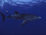 A Diver Swims with a 35-Foot-Long Whale Shark