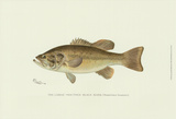 Buy Large-Mouthed Black Bass at AllPosters.com