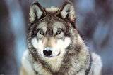 Buy WWF - Grey Wolf at AllPosters.com