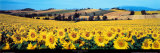 Sunflowers Field, Umbria