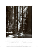 Buy Redwoods, Founders Grove at AllPosters.com