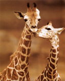 Giraffe, First Love